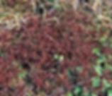 Triphysaria_pusilla_plant.jpg