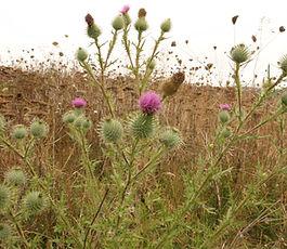 Cirsium_vulgare_plant.jpg
