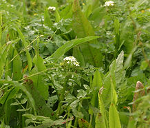 Nasturtium_officinale_flower.jpg