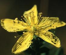 Hypericum_perforatum_flower.jpg