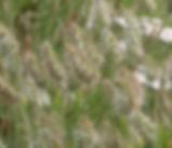 Cynosaurus_echinatus_plant.jpg