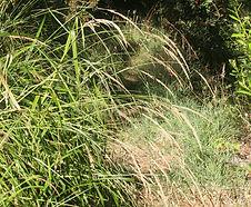 Calamagrostis_nutkaensis_habitat.jpg