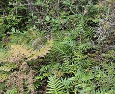Polypodium_scouleri_habitat.jpg