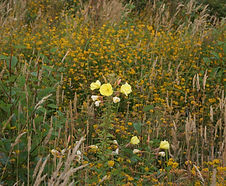 Oenothera_glazioviana_habitat.jpg