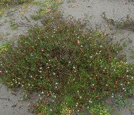 Polygonum_paronychia_plant.jpg