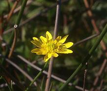 Ranunculus_californicus_flower.jpg