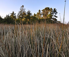 Schoenoplectus_acutus_habitat.jpg