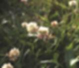 Trifolium_repens_plant.jpg