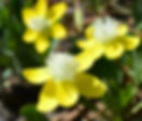 Platystemon_californicus_flower.jpg