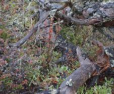 Cotoneaster_franchetii_habitat.jpg
