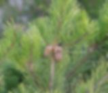 Pinus_contorta_plant.jpg
