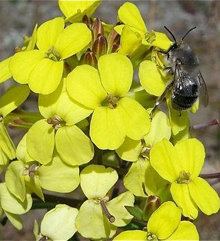 silver bee on wallflower.jpg