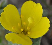 Camissoniopsis_cheiranthifolia_flower.jp