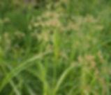 Scirpus_microcarpus_plant.jpg