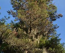Pinus_contorta_habitat.jpg