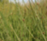 Schoenoplectus_americanus_plant.jpg