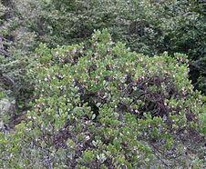 ArctostaphylosXmedia_habitat.jpg