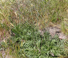 Coincya_monensis_plant.JPG