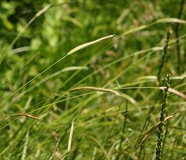 Hordeum_brachyantherum_plant.jpg