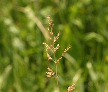 Agrostis_stolonifera_flower.jpg