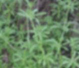 Galium_aparine_plant.jpg