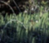 Hippurus_vulgaris_plant.jpg