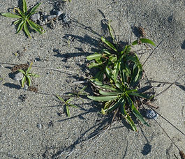 Plantago_lanceolata_plant.jpg