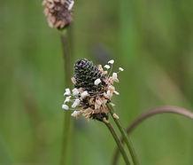 Plantago_lanceolata_flower.jpg
