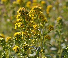 Solidago_spathulata_flower.jpg