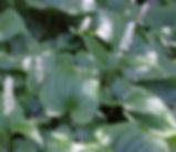 Maianthemum_dilatatum_plant.jpg