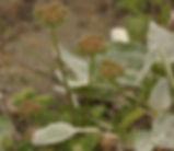 Daucus_pusillus_plant.jpg