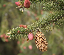 Picea_sitchensis_cone.jpg