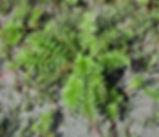 Potentilla_anserina-plant.jpg