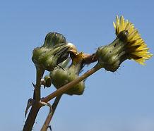 Sonchus_oleraceus_flower.jpg