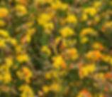Lotus_corniculatus_plant.jpg