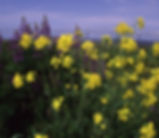 Brassica_rapa_plant.jpg