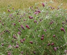 Vicia_benghalensis_habitat.jpg