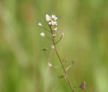 Capsella_bursa-pastoris_flower.jpg