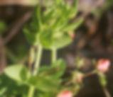 Lysimachia_arvensis_plant.jpg