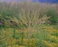 Brassica_rapa_habitat.jpg