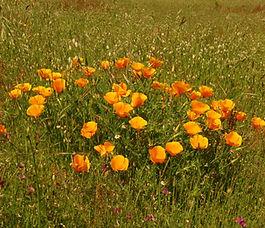 Eschscholzia_californica_plant.jpg