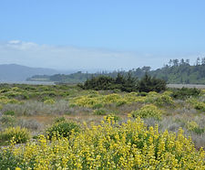 Lupinus_arboreus_habitat.jpg
