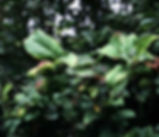 mal_syl_3_plant_oldguide.jpg