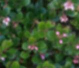 Arctostaphylos_uva-ursi_plant.jpg