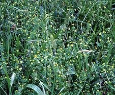 Trifolium_dubium_habitat.jpg