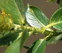 Salix_lasiandra_closeup.jpg