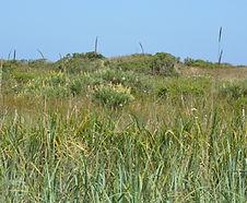 Elymus_xvancouverensis_habitat.jpg