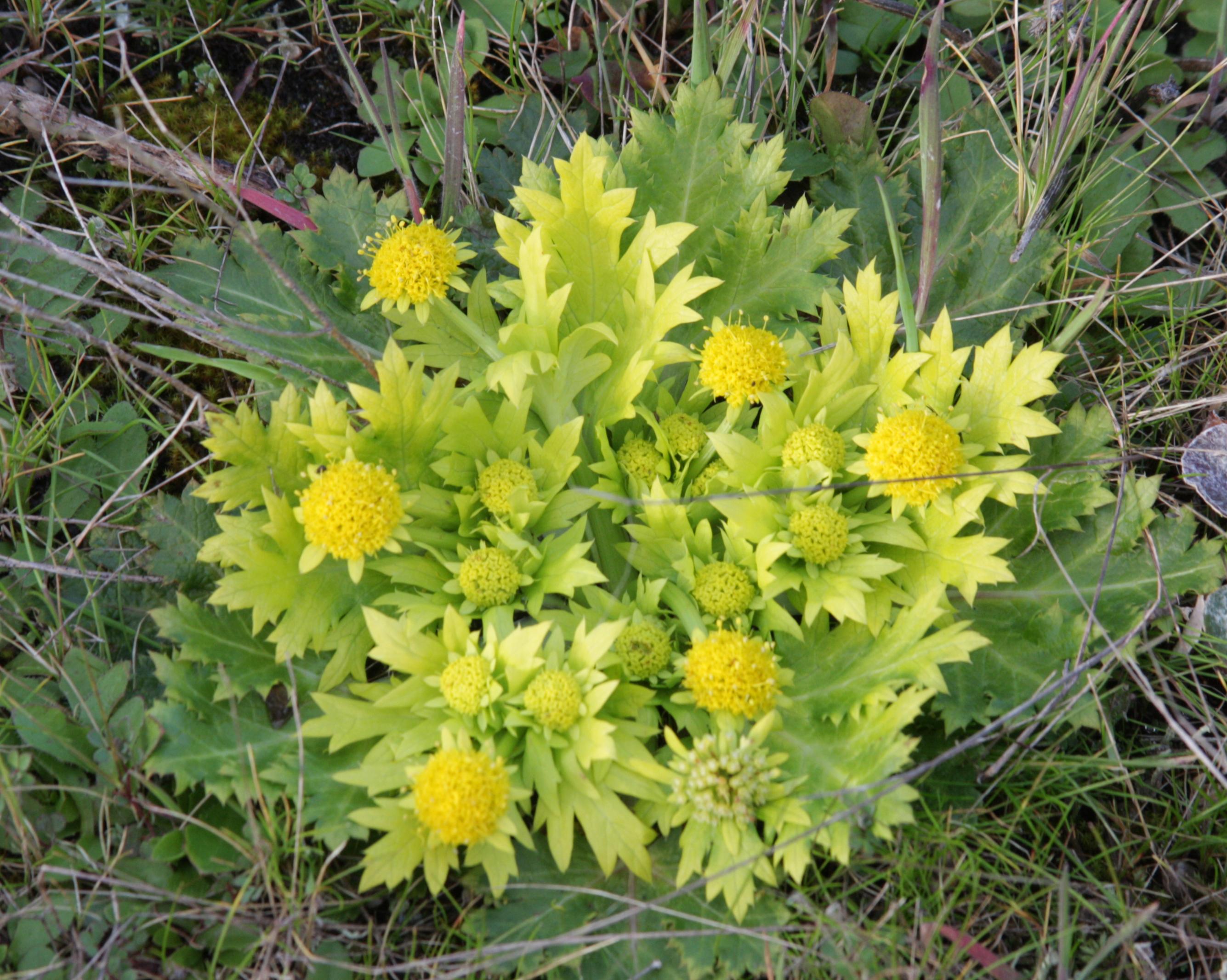 Sanicula_arctopoides_plant