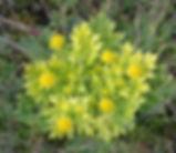 Sanicula_arctopoides_plant.jpg