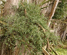 Solanum_nigrum_habitat.jpg